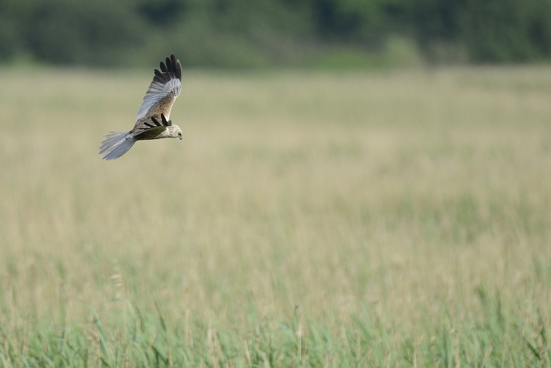 marsh-harrier02-200614-org_edited-4